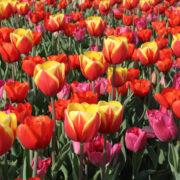 Quante sorprese nel campo dei tulipani