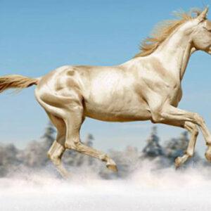 Non è un trucco del fotografo: questo cavallo ha il manto d'oro