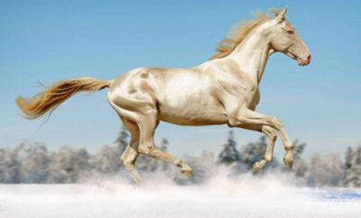 cavallo dorato ap