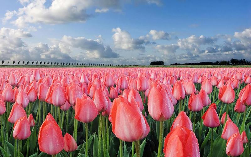 campo_tulipani
