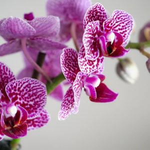 Vuoi far fiorire le tue orchidee? Usa questo infuso miracoloso