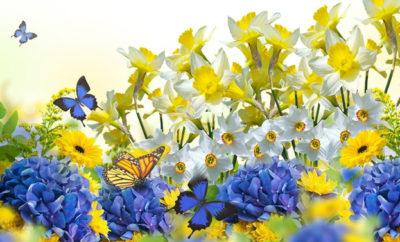 gardening ortensie narcisi