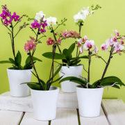 L'orchidea è la signora dei fiori: quindi trattiamola da vera lady