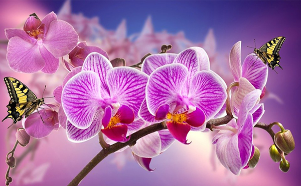 orchidea bella