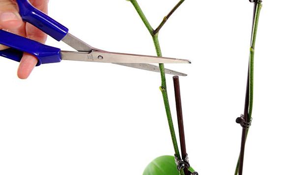 potare-orchidea