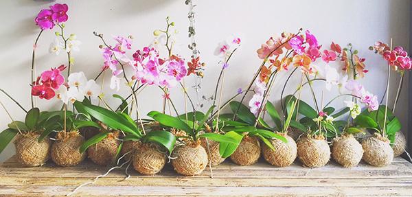 kokedama orchidee